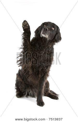 black mixed breed dog (half setter)