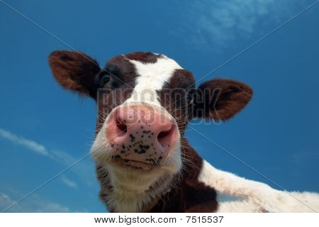 Attentiv Cow