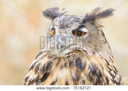 Bubo or eagle-owl bird quiet night hunter close up portrait against blurred background poster