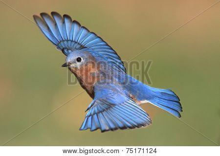Male Eastern Bluebird In Flight