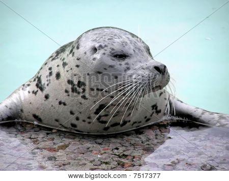 Harp Seal Close-up Looking Away