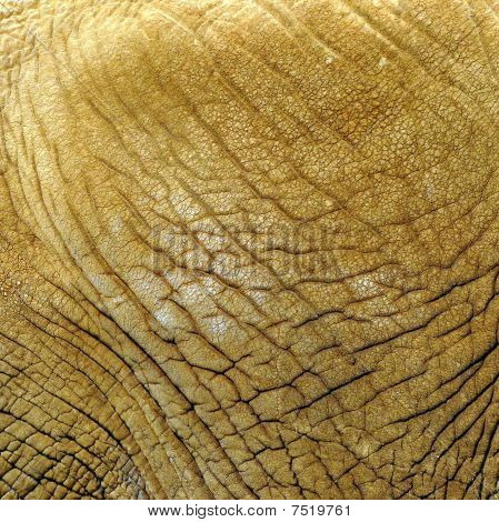 Elephants Skin