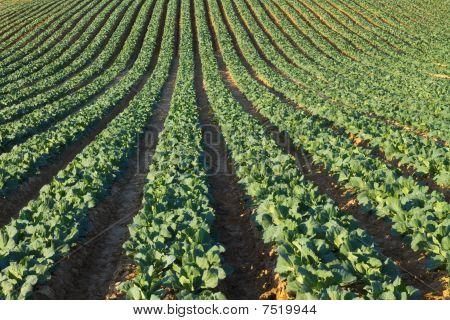 California Cabbage Field