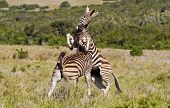two male zebras playing and biting each other under the neck poster