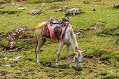 A pack pony grazes on fresh grass in the Indian Himalayas. poster