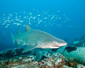 A Sand Tiger Shark swimming over a wreck off the coast of North Carolina poster