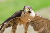 Small but fast predator wild bird falcon or hawk with spread wings close up shot poster