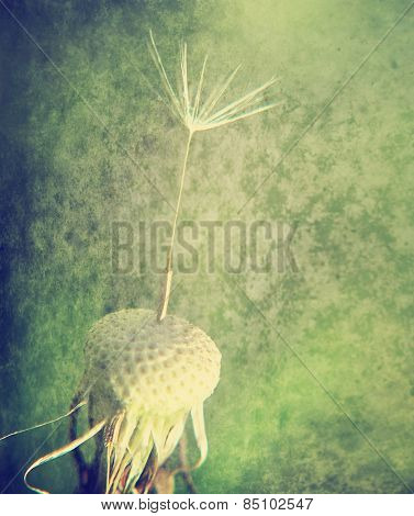 a single seed stuck on a dandelion plant with a grunge paper texture overlay toned with a retro vintage instagram filter or action app effect