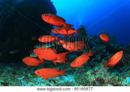 School red fish: Crescent-tail Bigeyes