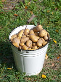 White bucket with new potatoes