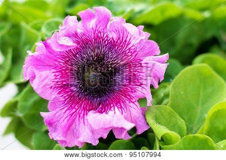 Petunia Pink Blossoming