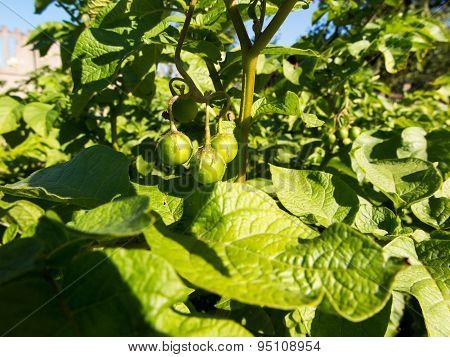 Green Bushes Potatoes With Fresh Fruit
