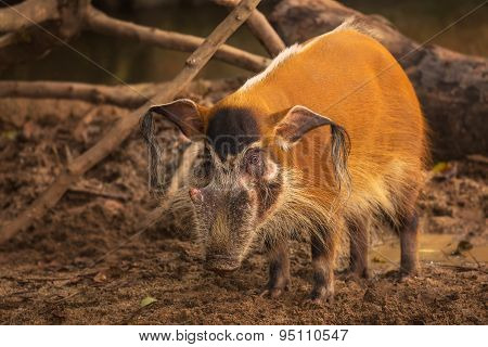 Red river hog, bush pig