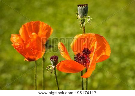 Corn Poppy Flowers Papaver Rhoeas In Spring
