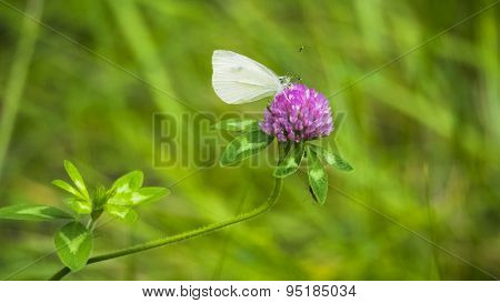Cabbage Looper Moth on Purple Clover.