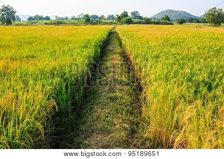Golden rice filed and pathway in meddle..