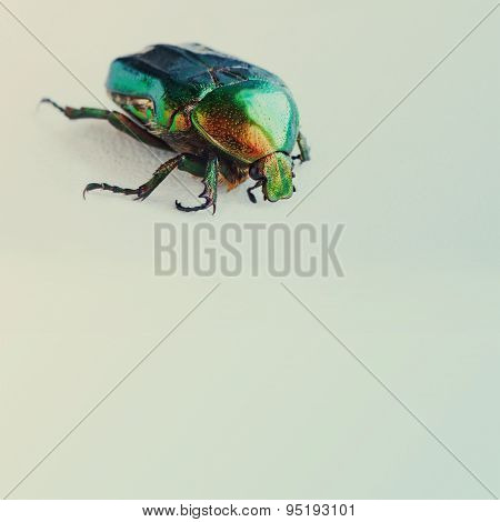 Flower rose chafer. bronze green color chitin. Multicolor pearl bug. Close-up. Retro colors background. poster