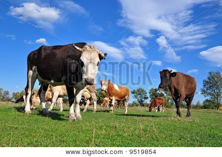 poster of Cows on a summer pasture in a rural landscape under clouds