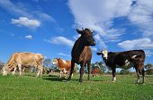 Cows on a summer pasture in a rural landscape under clouds poster