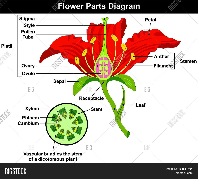 Flower Parts Diagram Image & Photo (Free Trial)   Bigstock