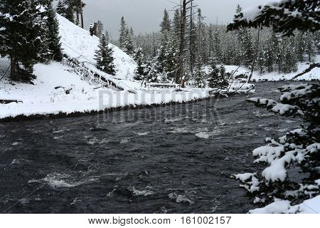 Douglas Fir covered with snow in Yellowstone National Park Madison River