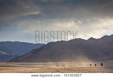 wild mongolian przewalski horses running in a steppe