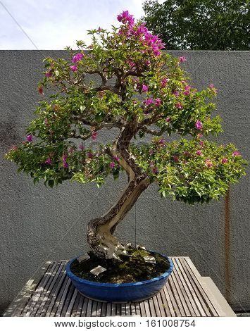 Bonsai and Penjing landscape with miniature flowering azalea tree in a tray