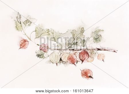 watercolor image of Red gooseberries isolated on a white background