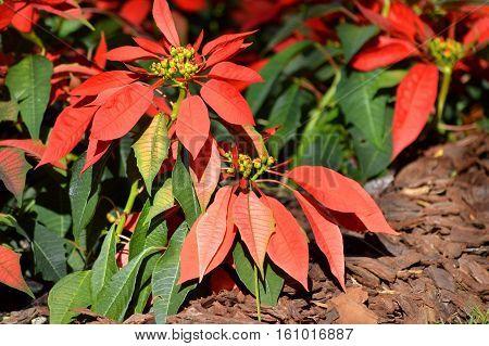 A Poinsettia plant Latin name Euphorbia pulcherrima