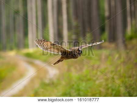 Long-eared owl fly with scream trought forest - Asio otus otus