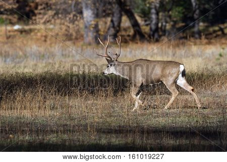 Adult male mule deer or buck walking on dried grass in the Yosemite Valley