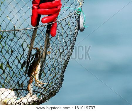 Removing a blue claw crab from a crabbing net with tongs