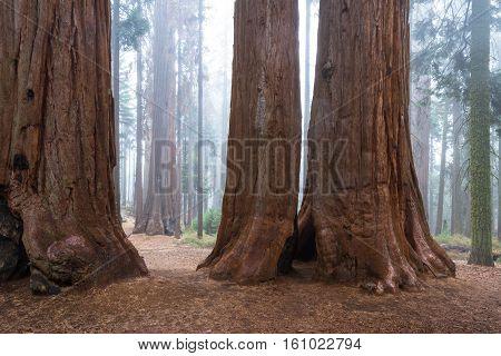 Large Sequoia Tree