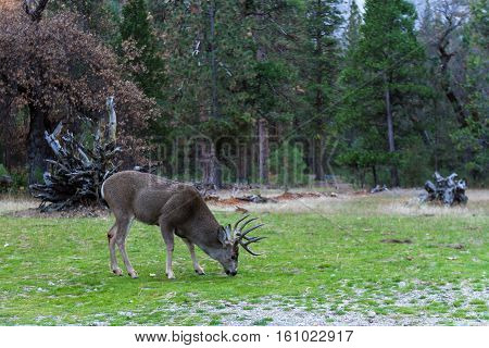 Mule Deer In Yosemite