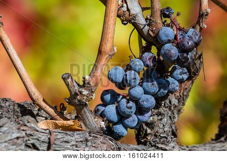 Old Grapes On The Vine