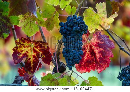 Late Harvest Grapes On The Vine