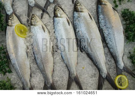 Raw fishes on ice with the lemons. Sea mackerel in pile for sell and cook. Freshly catch of mackerel as food ingredient. Fish meat in grocery store. Mackerel with lemon. Small silver fish in shop