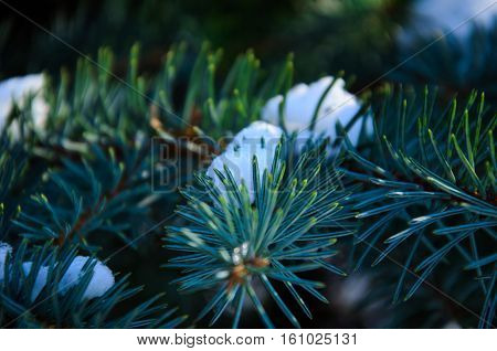 Needles on a fir tree branch with the snow