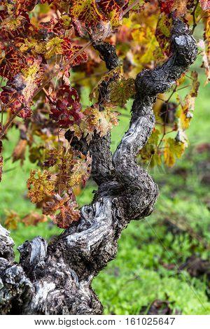 Gnarly Old Grape Vine