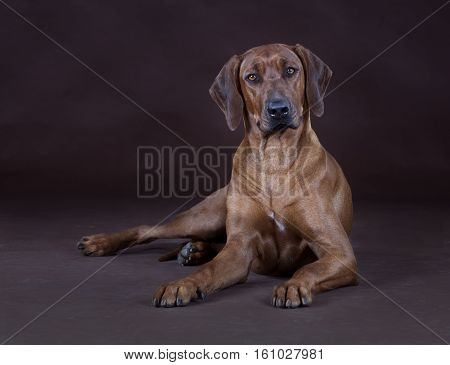 rhodesian ridgeback dog lying down in studio