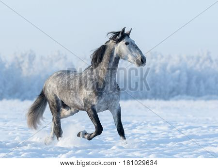 Grey Spanish horse runs trot in winter snowy field at winter time