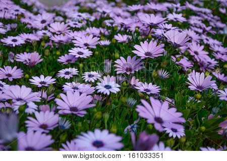 Osteospermum violet daisy flowers as a background with focus in the middle