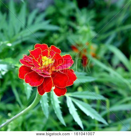Macro Of Marigold Flower, Yellow And Orange