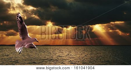 Giant God Clouds - Sunset at Sea. A huge rare golden colored vista of sun rays (crepuscular rays) at dusk over ocean with a seagull in full flight in forground. Photography NSW Australia east coast. sunrise sun dawn orange black rays angel rays sunbeams c