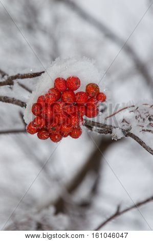 Small clump of snow covered orange mountain ash berries on a branch that runs horizontally through the photo. Individual snowflakes line the branch. Gray sky is in the background. Shallow depth of field.