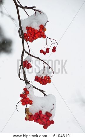 Multiple clumps of snow covered orange mountain ash berries on a branch hangs vertically from upper left corner. Gray sky is in the background. Shallow depth of field.