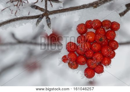 Close up of a clump of snow covered orange mountain ash berries on a branch that is angled through the photo. Individual snowflakes line the branch. Gray sky is in the background. Shallow depth of field.