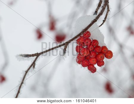 Small clump of snow covered orange mountain ash berries on a branch that is angled through the photo. Individual snowflakes line the branch. Gray sky is in the background. Shallow depth of field.