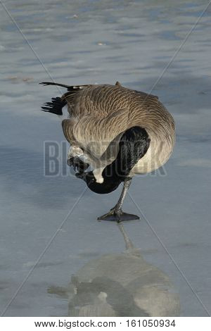 Canada goose scratching an itch with foot while standing on frozen winter icy lake
