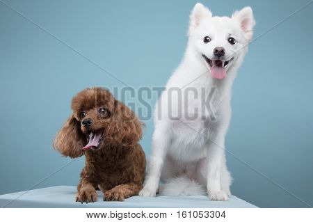 Spitz, poodle portrait in blue background - shot